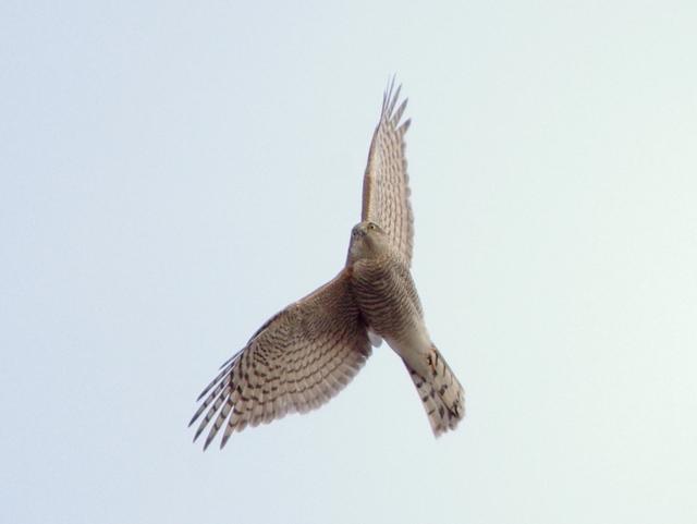 大船渡の野鳥図鑑---ハイタカ